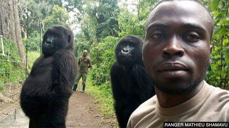Two gorillas have been photographed posing for a selfie with the rangers who rescued them as babies. ❤️ 👉 http://bbc.in/2UQ5bry