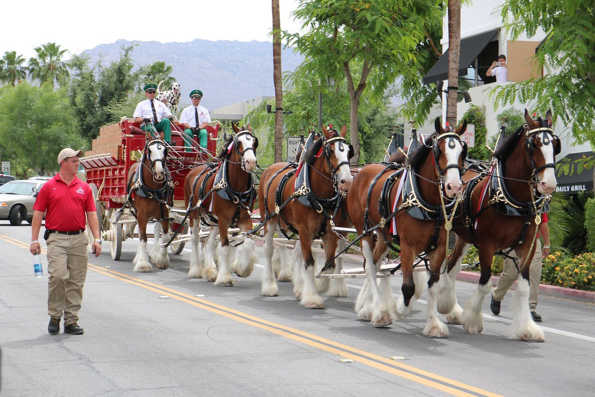 c8e99c75e792 The Budweiser Clydesdales are back and will be behind Daily Grill at  11:45am getting ready before they trot down El Paseo at 1:15pm!