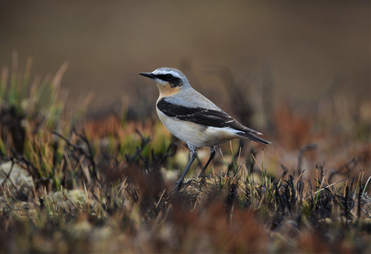 1 of dozens of Wheatear on the Scottish hills today, what a day, G Eagle, Merlin, Peregrine x 3 countless Buzzards, Whinchat, Slovenian Grebes, Mountain Hare, Hooded Crow and Red deer  <br>http://pic.twitter.com/zniouJBe8t