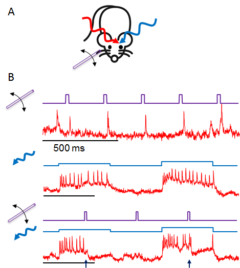 How do L1 interneurons process sensory inputs? We used voltage imaging to find out. Great team effort with Anne Takesian and @eboyden3 labs! https://www.biorxiv.org/content/10.1101/614172v1 … Teaser: look at neuronal responses to whisker stim, optogenetic stim, or both.  See something strange?