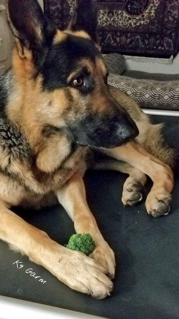 Damn Sif kitty causing a disturbance during his broccoli snack time   #K9Garm #SARK9 #dogsoftwitter #dog #dogs #germanshepherd #gsd #moosedog<br>http://pic.twitter.com/bjJyz1MzUm