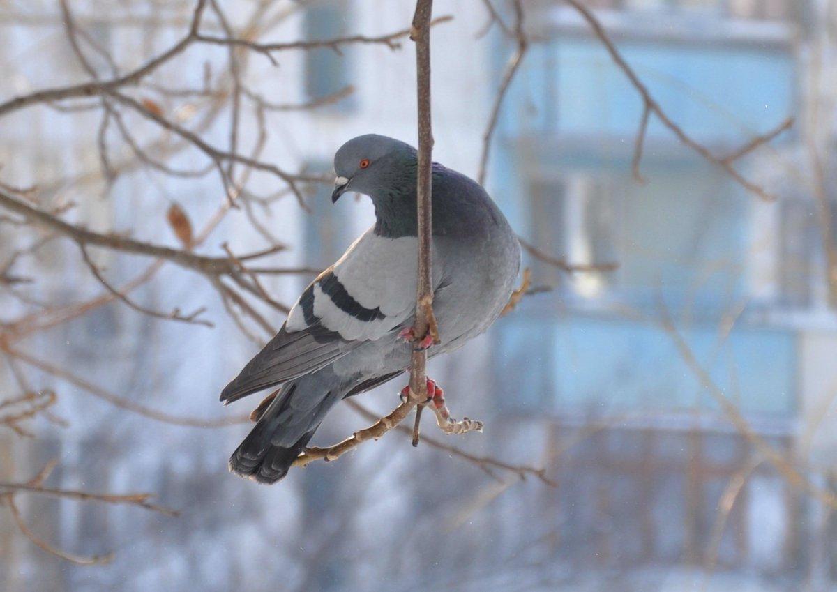 Картинка голубь для детей зимой