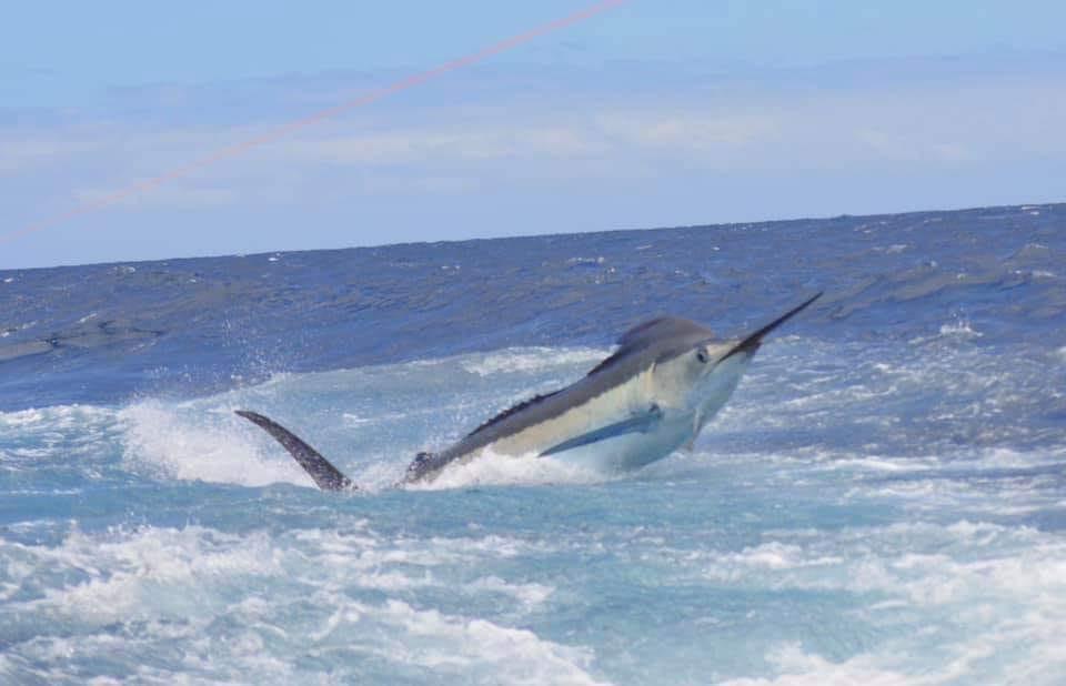 Cape Verdes - 700 lbs. Blue Marlin having a look at La Onda Mila.