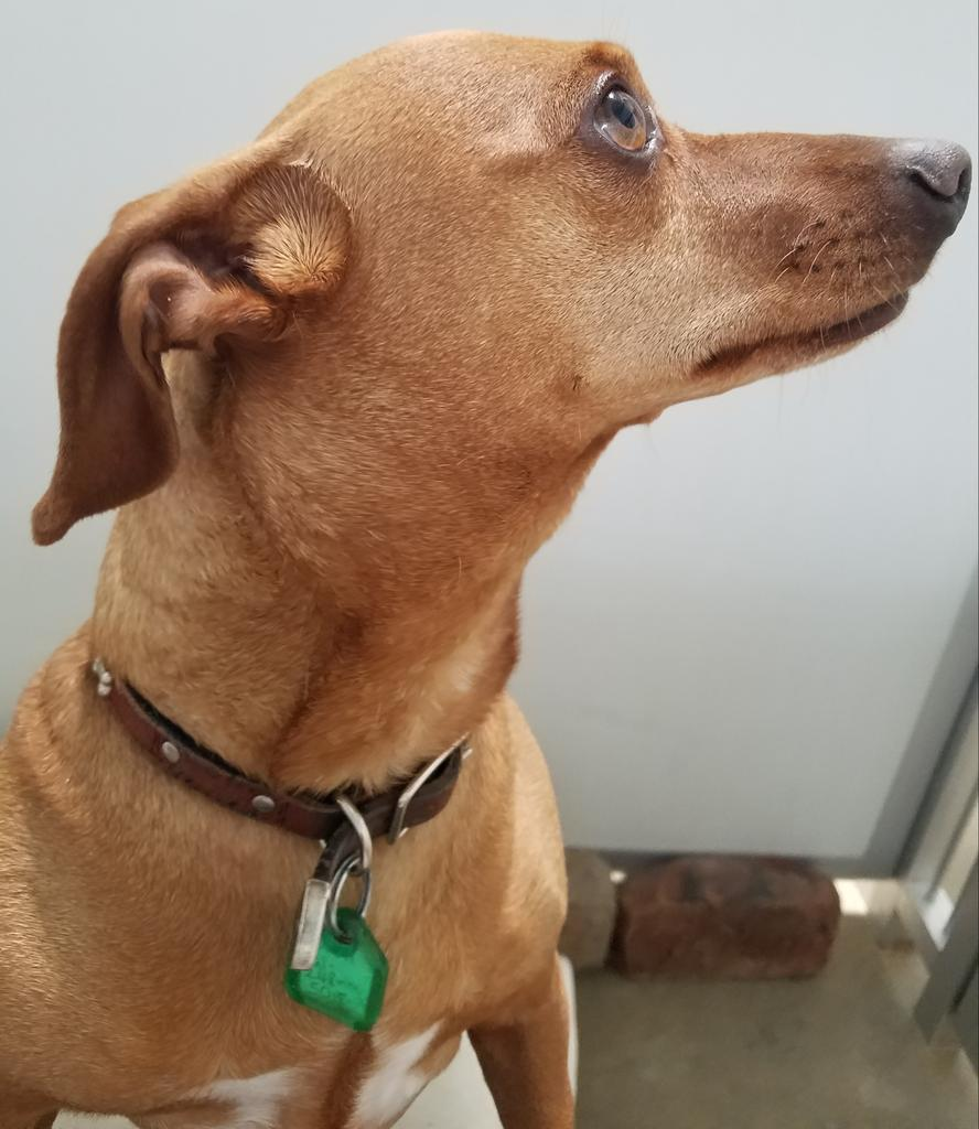 """""""My name is PeeWee for now. I am very friendly. Also extremely soft to the touch. I would make a good furever pal. I promise."""" http://ShelterontheHill.org 661 248 5018"""