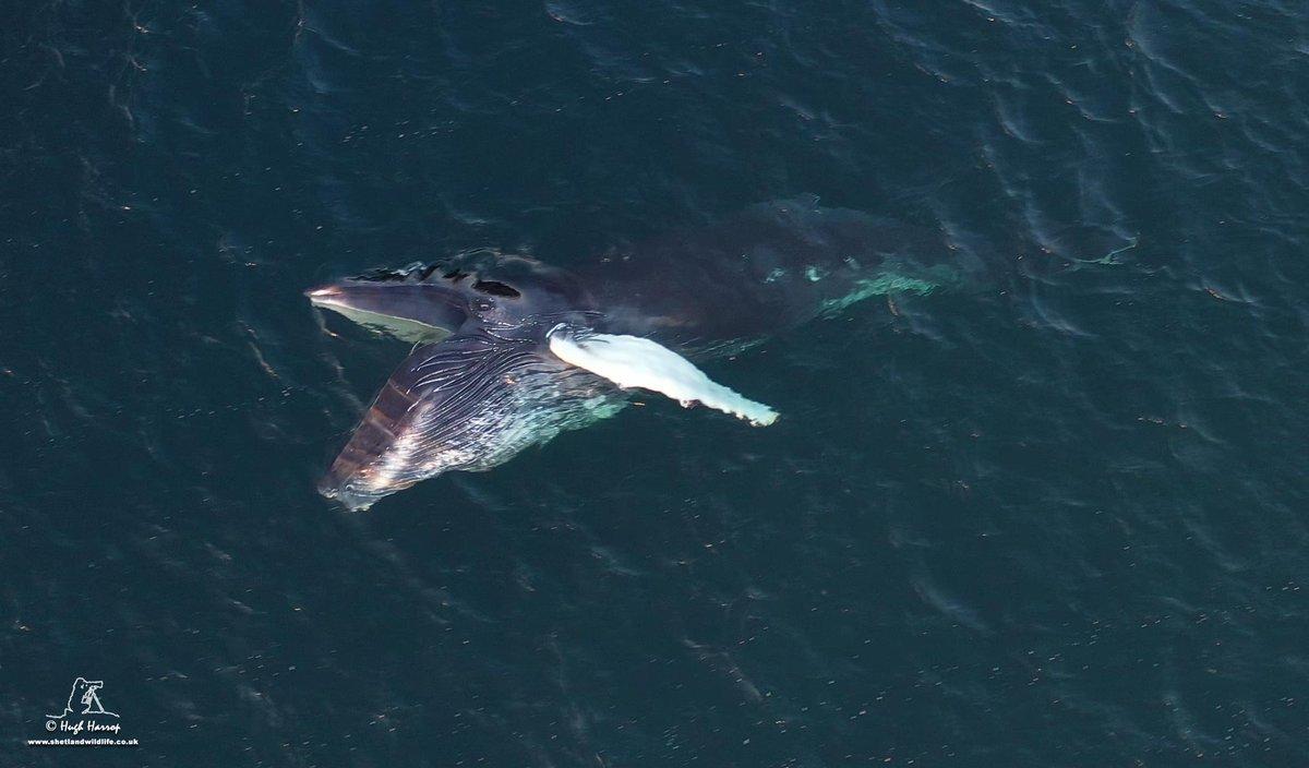 Open wide! Humpback Whale feeding in Urafirth Voe, #Shetland.