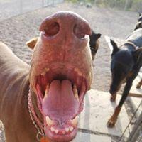 I is Hippo Hungry - throw me a snack friend  #doberman<br>http://pic.twitter.com/KR6MZmUiB0