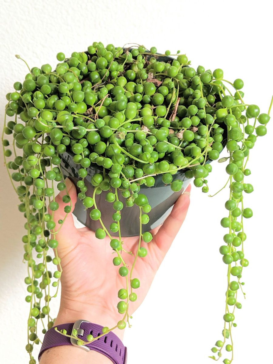 string of pearls succulent - HD900×1200