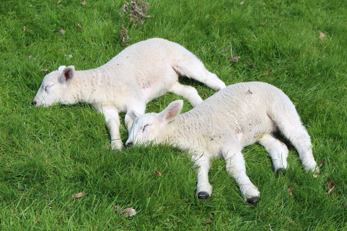 After a busy Easter weekend at Chirk Castle with over 8,000 visitors in four days even the lambs have had to take a rest.  But with our Huggable Tree trail, bluebells and the beautiful gardens there is still so much to see.  #spring #EasterWeekend #EasterWeekend2019 #lambs<br>http://pic.twitter.com/PDw72W2jQr