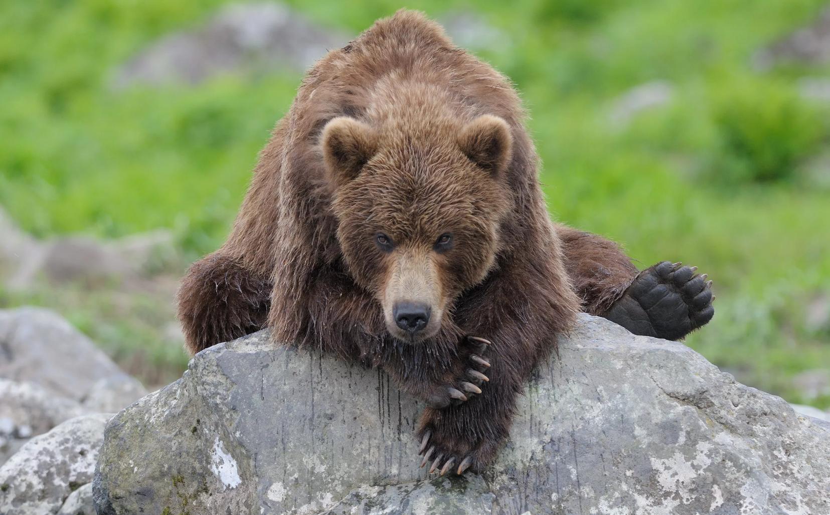 Прикольный картинки про медведей, новогодняя