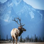 Image for the Tweet beginning: Wild in the Rockies  Photo by: