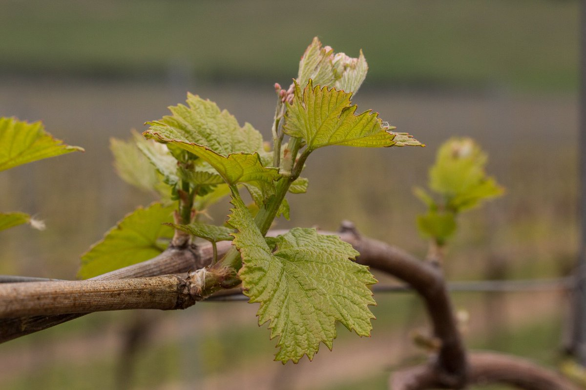 The vineyard has come alive, spurred on by the lovely warm #EasterWeekend weather  <br>http://pic.twitter.com/QQZZjwmC7h