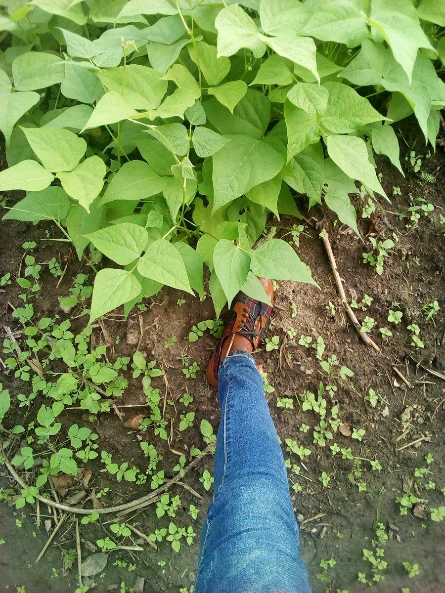 The land is arable.... Farming is a blessing😘👌.@YPARDUganda @YPARD @EAYouthInAgric @rikolto @ypard_rdc @yemi_adeyeye
