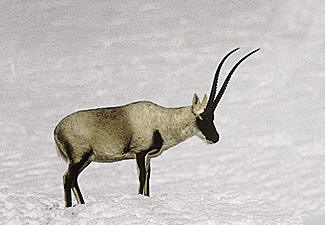 This is a Tibetan Antelope. Endangered. 90% have been wiped out over the last 25 years. Their underfur is used to make scarves and shawls called Shahtoosh. $20,000 per scarf. 4 antelopes die to make 1 scarf. The scarves last only 5 years. #Extinction is forever. <br>http://pic.twitter.com/4hgMl8tgvt