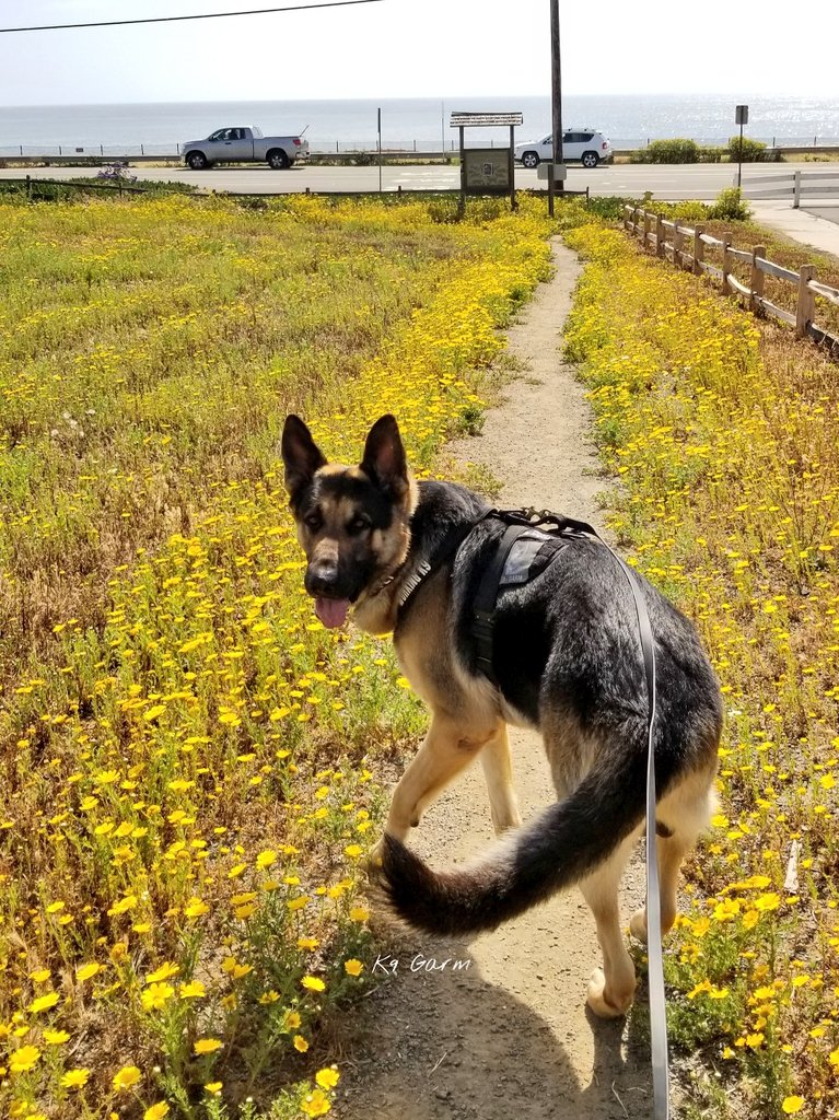 2 mile trail then off to do some training! #moosedog #K9Garm #SARK9 #dogsoftwitter #dog #dogs #germanshepherd #gsd<br>http://pic.twitter.com/IbgV45F8Ui