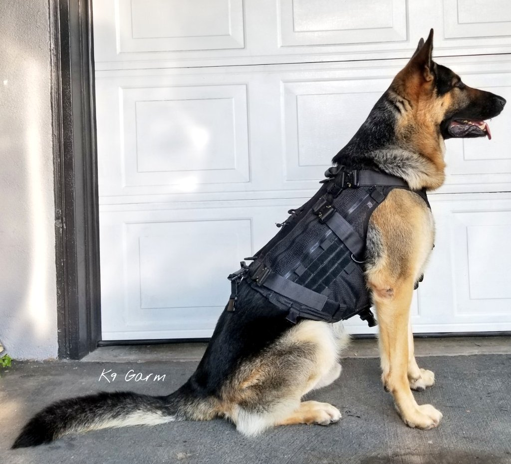 Finally got his new custom vest and it was well worth the wait. Super happy with the quality and fit of his Frog Dog MKT vest by Cerberus K9. Hes super happy and comfy in it. Great company, super nice quality gear  #K9Garm #SARK9 #dogsoftwitter #dog #dogs #germanshepherd #gsd<br>http://pic.twitter.com/s1OS6p3FN9