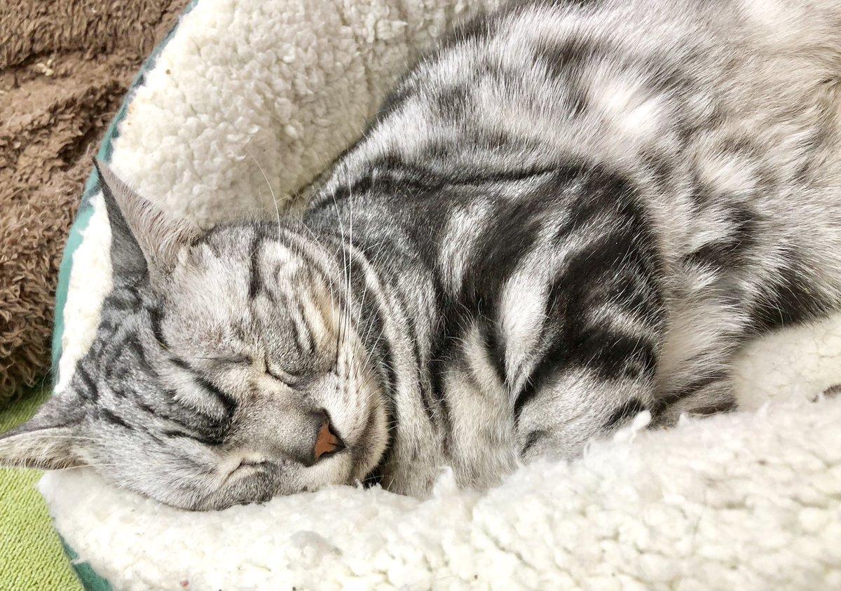たっぷりオヤツをもらった小鉄がイビキかいて寝ております💤 幸せにゃ〜♫ #美観neko #美観地区カフェ #猫カフェ #catcafe  #catstagram #ネコスタグラム #アメショー #みかんねこ #ねこ