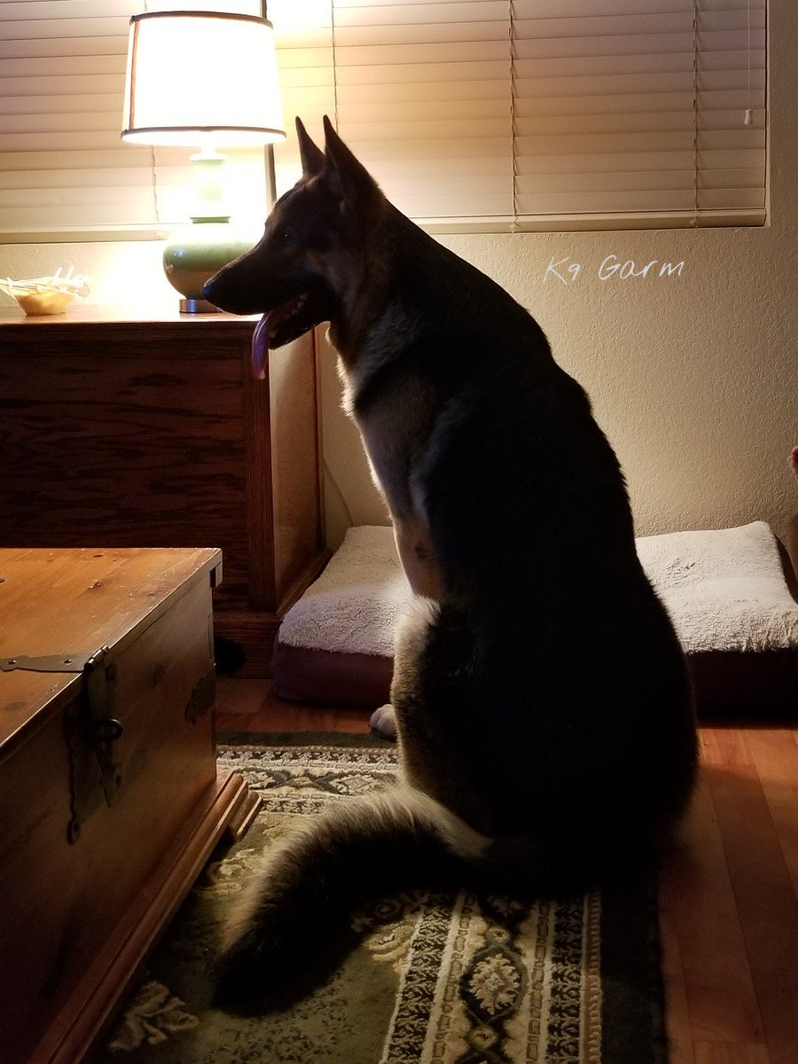 Just hanging at his friends house wondering why that dog bed is so small...on a side note, i love this picture of him  #K9Garm #SARK9 #dogsoftwitter #dog #dogs #germanshepherd #gsd #moosedog<br>http://pic.twitter.com/z0eOMDGra4