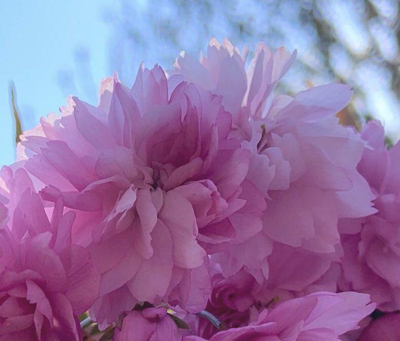 Gosh... #Sakura  #cherryblossom  for #SundayMorning    <br>http://pic.twitter.com/ooKP98sr5h