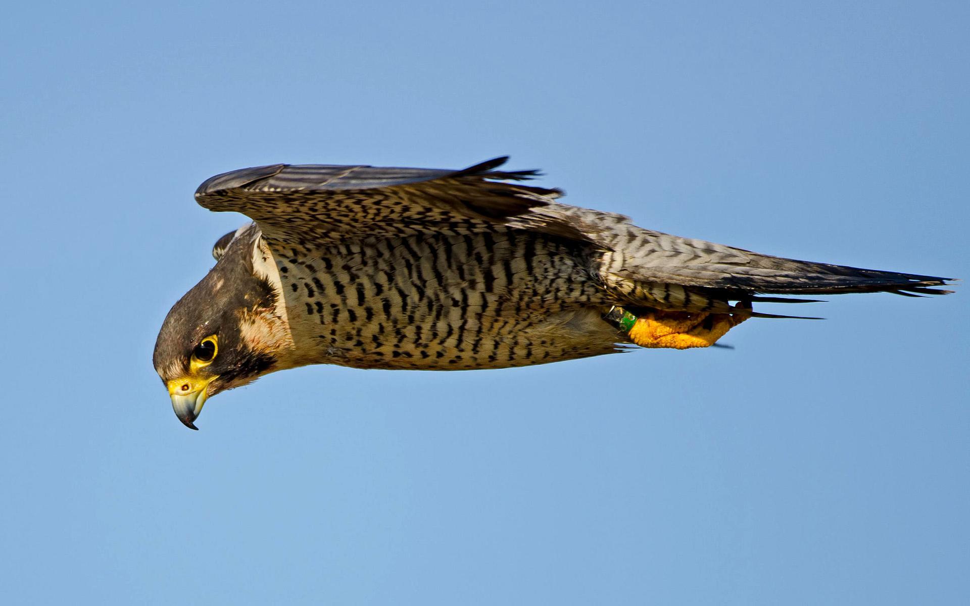 пособие способствует сапсан фото птицы в полете стэнли