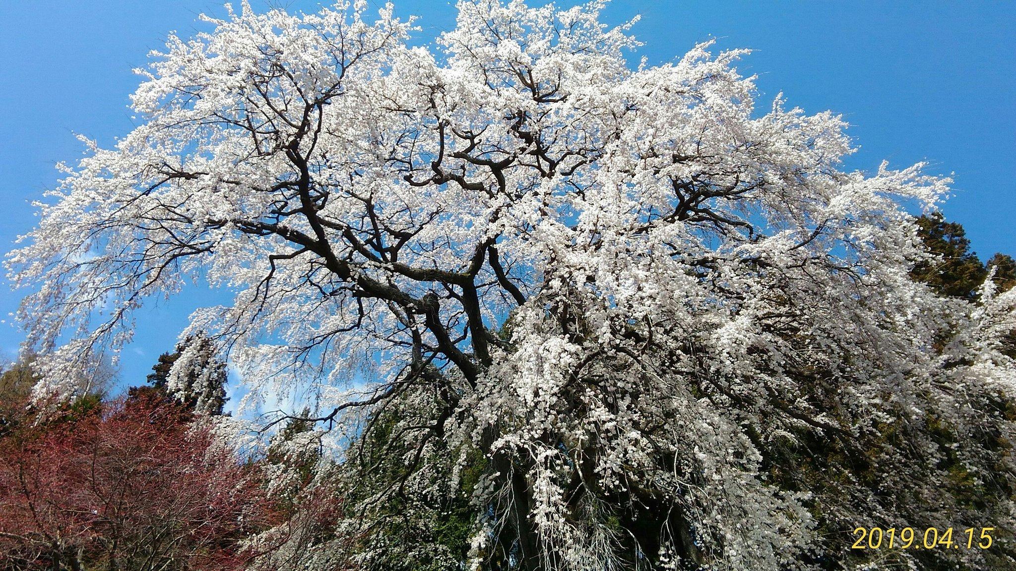 西田町の桜(郡山市)