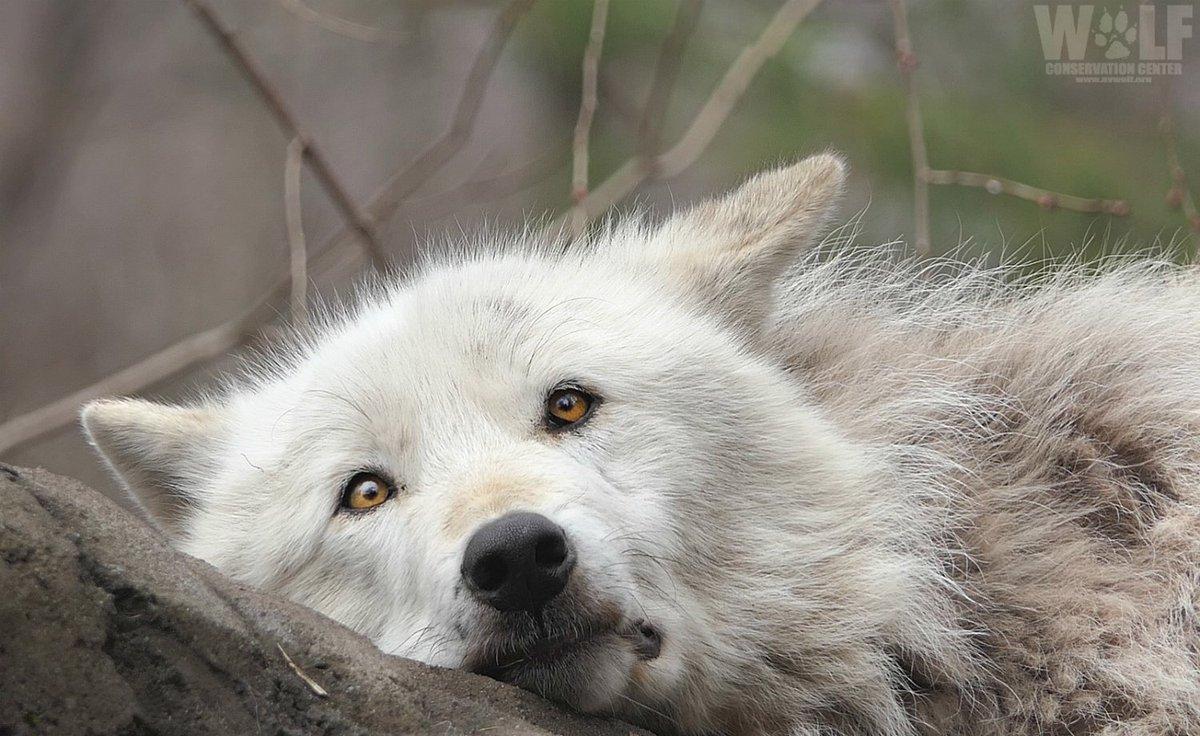 Wolf Conservation Center's photo on #mondaymorning