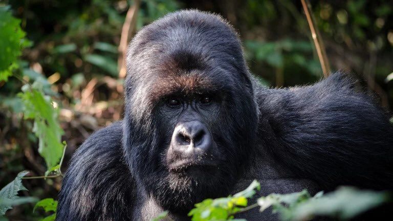 Find the perfect mountain Gorillas Trekking safari in Rwanda, experience wild Jungle's beauty, Breathtaking Landscapes and authentic Culture welcoming Rwandan culture #VisitRwanda #rwandalicious #rwandasafaris @hermosatours1