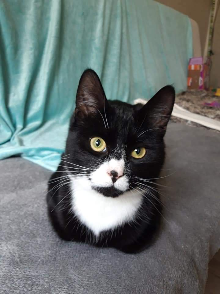 Please welcome 9mo brothers Modin and Matty, they are so lovely and nice!!! Please get in touch if you would like to come and meet them!! You won&#39;t be disappointed! #AdoptDontShop #rescue #Yorkshire #rescuecats #kittyloafmonday <br>http://pic.twitter.com/sveaztK5n2