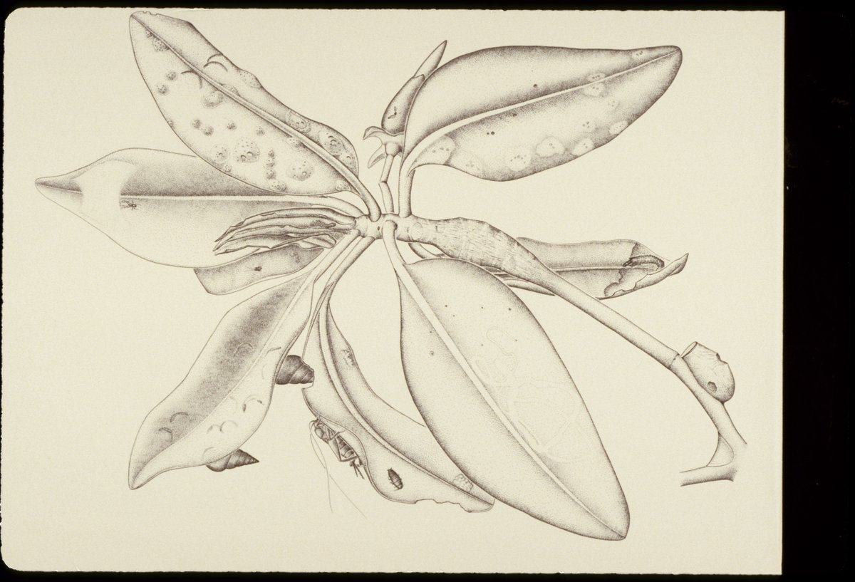 The woman who drew this red mangrove branch started as a scientific illustrator with @NMNH and went on to become an expert mangrove scientist @SmithsonianEnv. Science, art...who says we can't have it all? #WorldArtDay #sciart (Image: Candy Feller)<br>http://pic.twitter.com/v1glgqBXfr