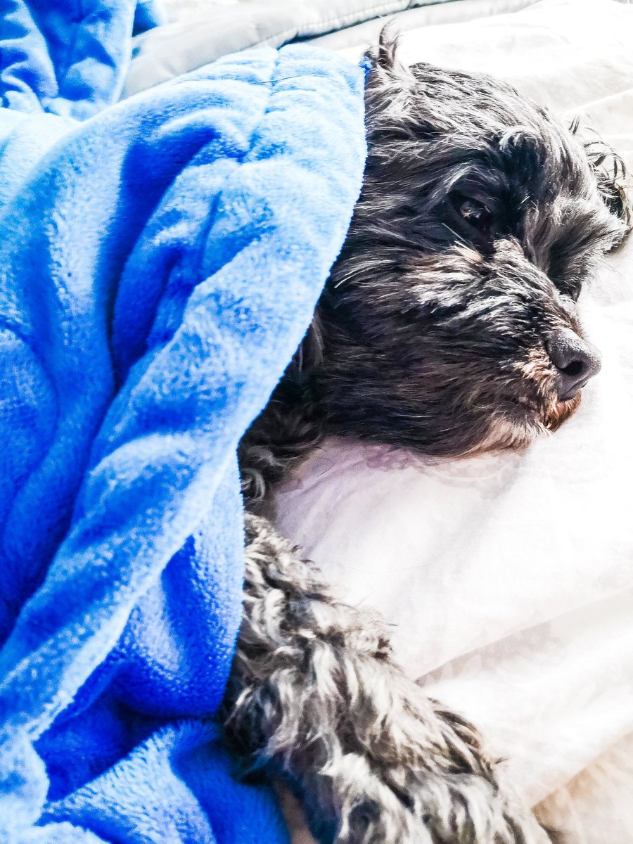 Ahhh time to snuggle up under the covers 😴❤️ #NationalPetDay #NationalPuppyDay