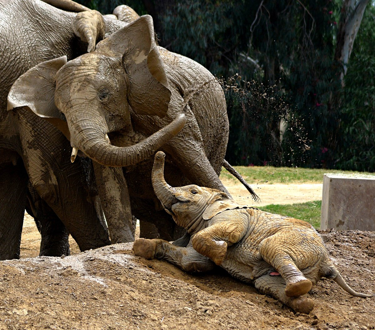 Just another case of the mud-days.  #MondayMotivation #PachydermPair Keeper Evan <br>http://pic.twitter.com/5YpKk1GRlG
