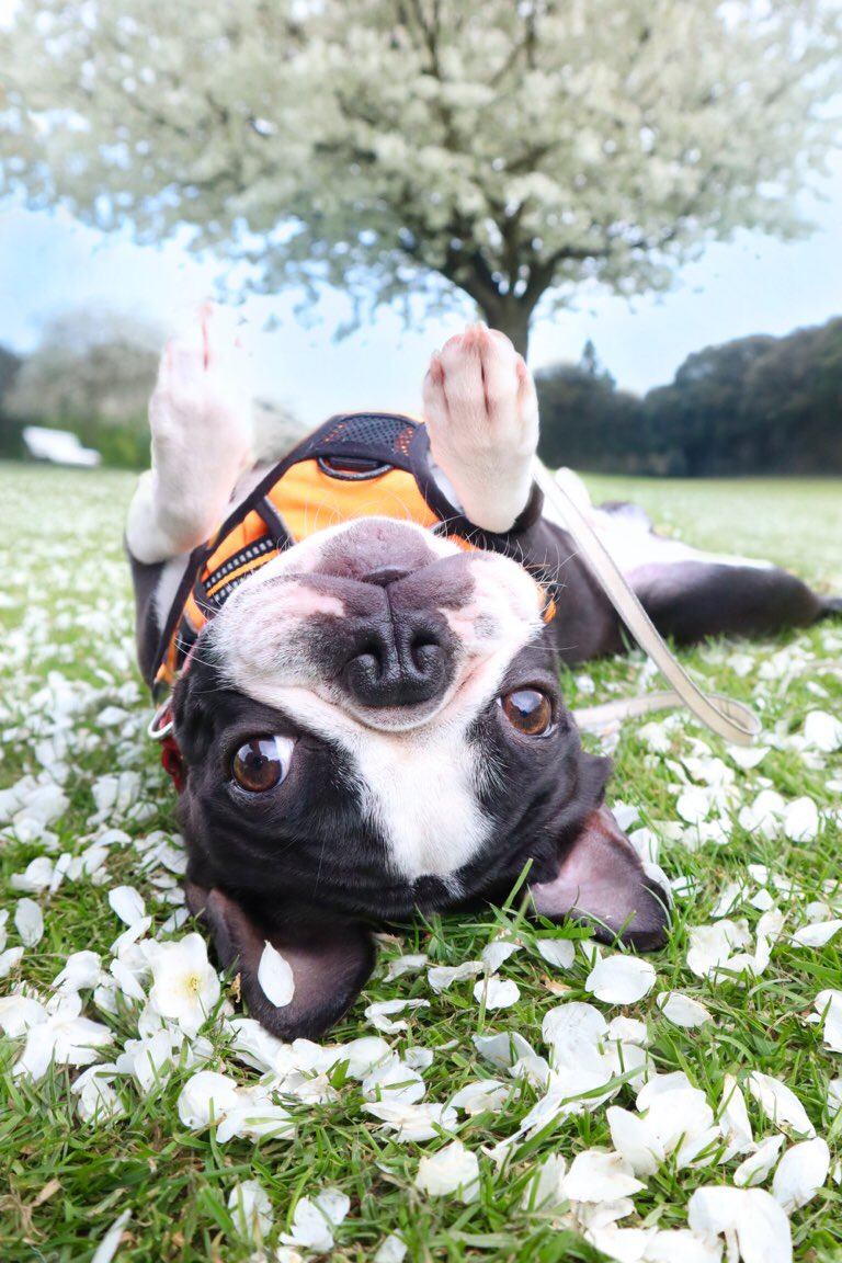 You can call me sunshine because I'm here to brighten your day( Monday)!   #bostonterrier #MondayMood #puppy<br>http://pic.twitter.com/svufIPEvMp