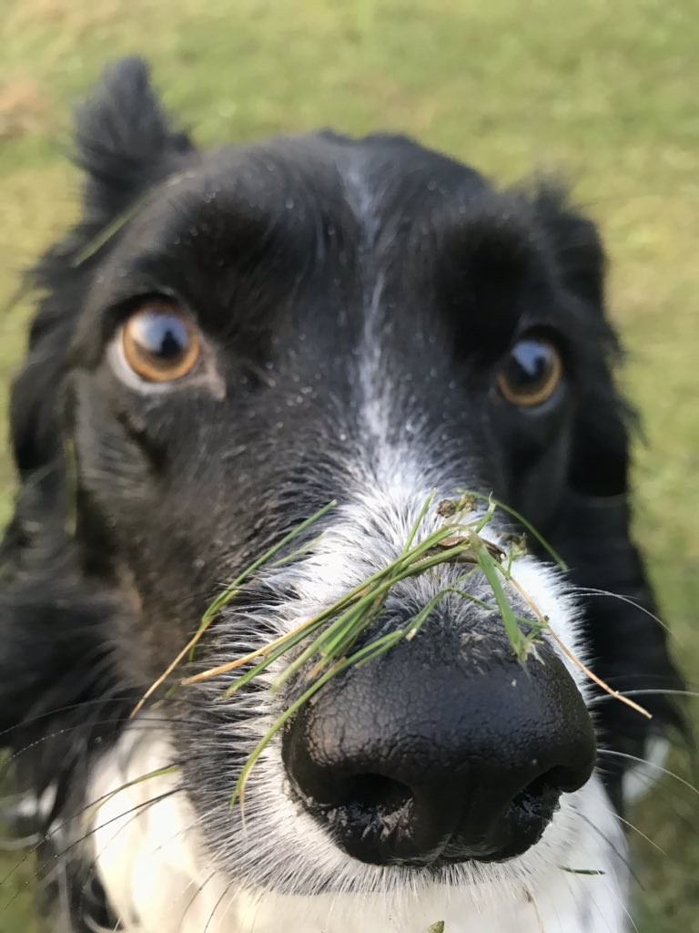 I have camouflaged my snoot for better ball hunting. What do you think? #BorderCollie #dogsoftwitter <br>http://pic.twitter.com/A3YI1R7Itp