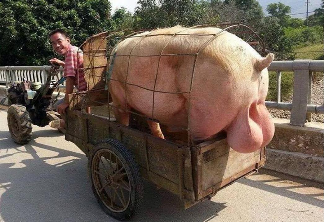Q:本当にどうでもいい知識を教えてください A:豚のキンタマは1分間に6000匹の割合で死ぬまで精子を作り  一度の射精における量 豚:200~500ml 人: 2.0~4.0ml  精子数 豚:200億~1000億匹 人:5000万~1億匹  の性能で スイカ大程のキンタマから延々と精液を注ぎ込む為 これに目を付けた外人が↓