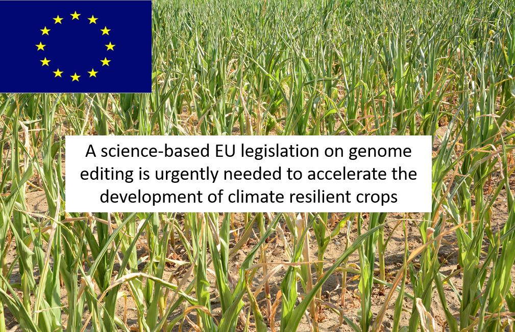 VIB starts a new field trial with CRISPR-mediated, genome edited maize plants to obtain insights on how the environment affects genome stability. Important study to understand the drastic consequences of climate change on our food production. https://bit.ly/2UfJdco