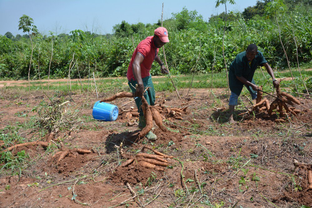 Kassavasorter med bättre näringsvärde och potatissorter med bättre motståndskraft mot sjukdomar. Det är målet i nytt samarbete kring genteknik i afrikansk växtförädling. http://www.mynewsdesk.com/se/sveriges_lantbruksuniversitet__slu/pressreleases/2861293…