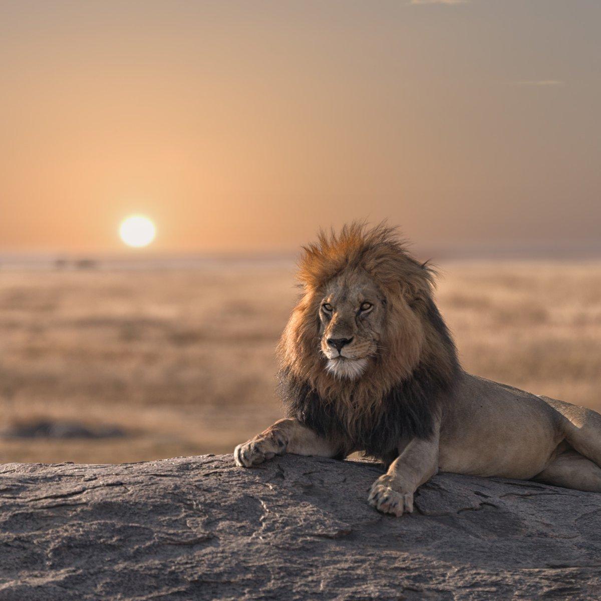 King of the Serengeti… https://t.co/Idml6LUIz0