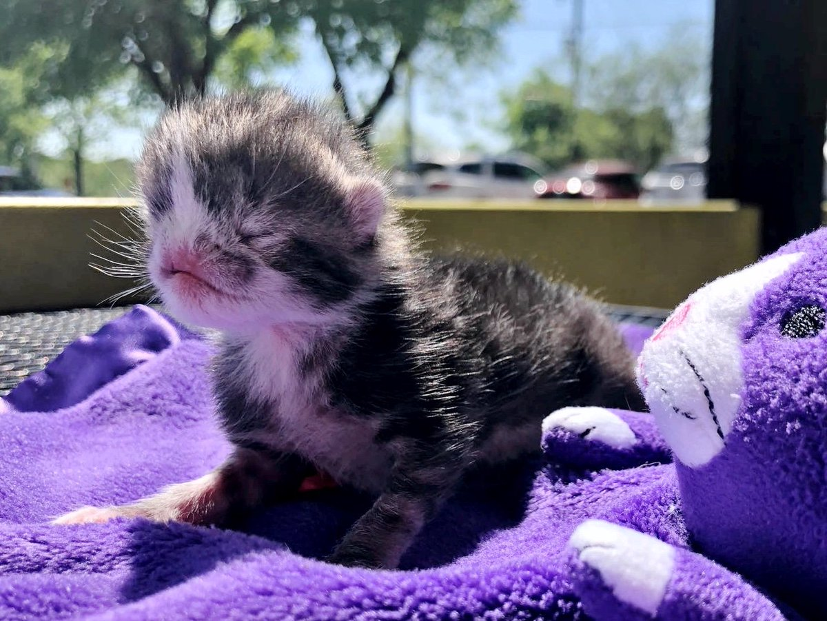 Kitten who was born very special, gets help just in time and is determined to live and thrive. See full story and updates: lovemeow.com/kitten-born-sp…