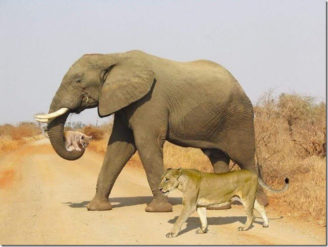 Isn't this the most stunning picture?! A lioness and her cub were crossing the savannah; the heat was excessive and the cub was in great difficulty.  An elephant realized that the lion cub would die and carried him in his trunk to a pool of water, walking beside his mother. 😍