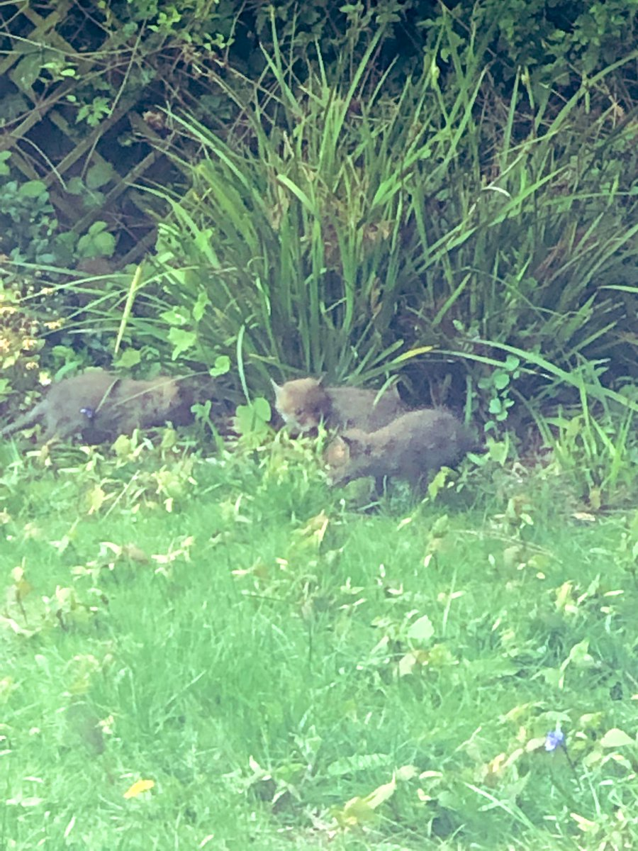 There are baby foxes playing in my yard!!!!