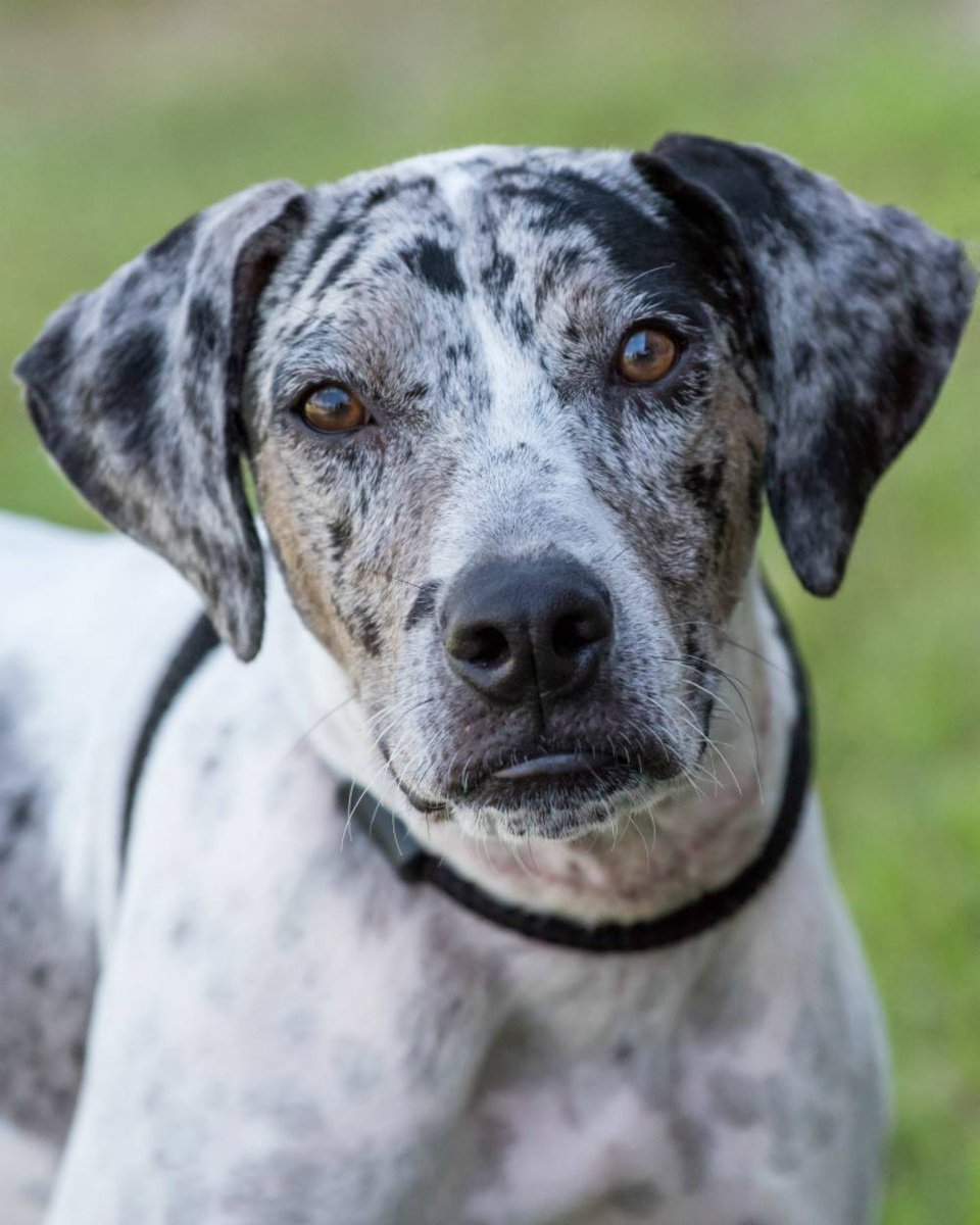 2️⃣-Fur Tuesday! SPARROW & CHAUCER are BFF's who are looking for a home together! Sparrow (b&w) is a Catahoula mix who weighs 40lbs and is 1.5 yrs old. His buddy Chaucer is a Hound-mix,16 months old and about 48lbs. Come meet them @ Ranch, or contact adoptions @ 561-791-6465.