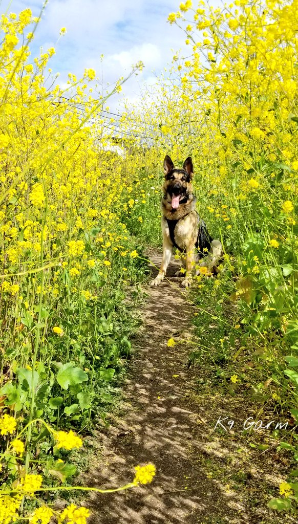It&#39;s that time of the year, pretty but you walk out of it looking like big bird  #K9Garm #SARK9 #dogsoftwitter #dog #dogs #germanshepherd #gsd #moosedog<br>http://pic.twitter.com/jpYF73PDZm