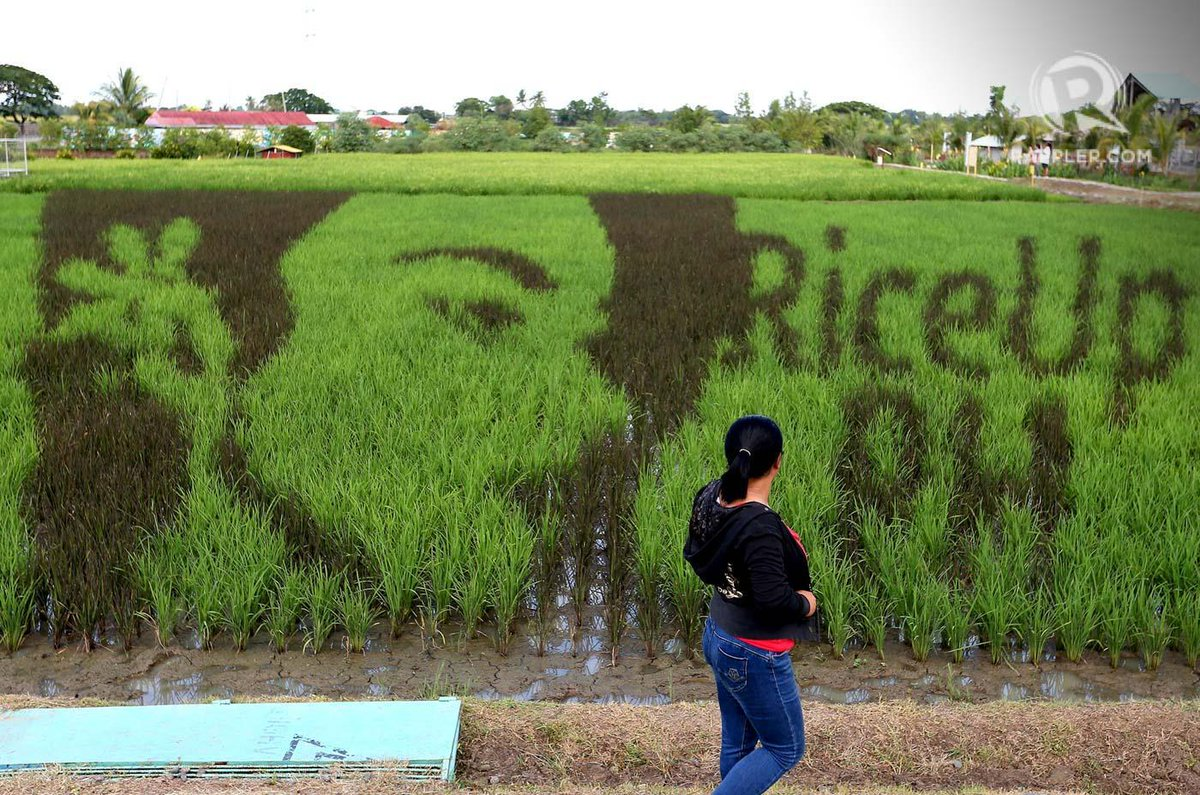 LOOK: Catriona Gray goes green! Our #MissUniverse is featured in rice paddy art at the Philippine Rice Research Institute in Munoz, Nueva Ecija. PHOTO BY INOUE JAENA/RAPPLER  Read up on Catriona here:  https://www. rappler.com/life-and-style /specials/miss-universe/226254-catriona-gray-says-she-represents-modern-filipina-beauty &nbsp; … <br>http://pic.twitter.com/T1f6CdNIrO