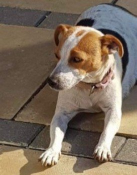 #missing ELLA has 6 4week old puppies that need her. Her family are devastated she&#39;s missing. Last seen 15 Apr 2019 at mobile home park in Malbrough road Royal Wootton Bassett #Swindon #Wiltshire #SN4 Chipped and much loved #ScanMe #lostdog <br>http://pic.twitter.com/xePhnj6Z25