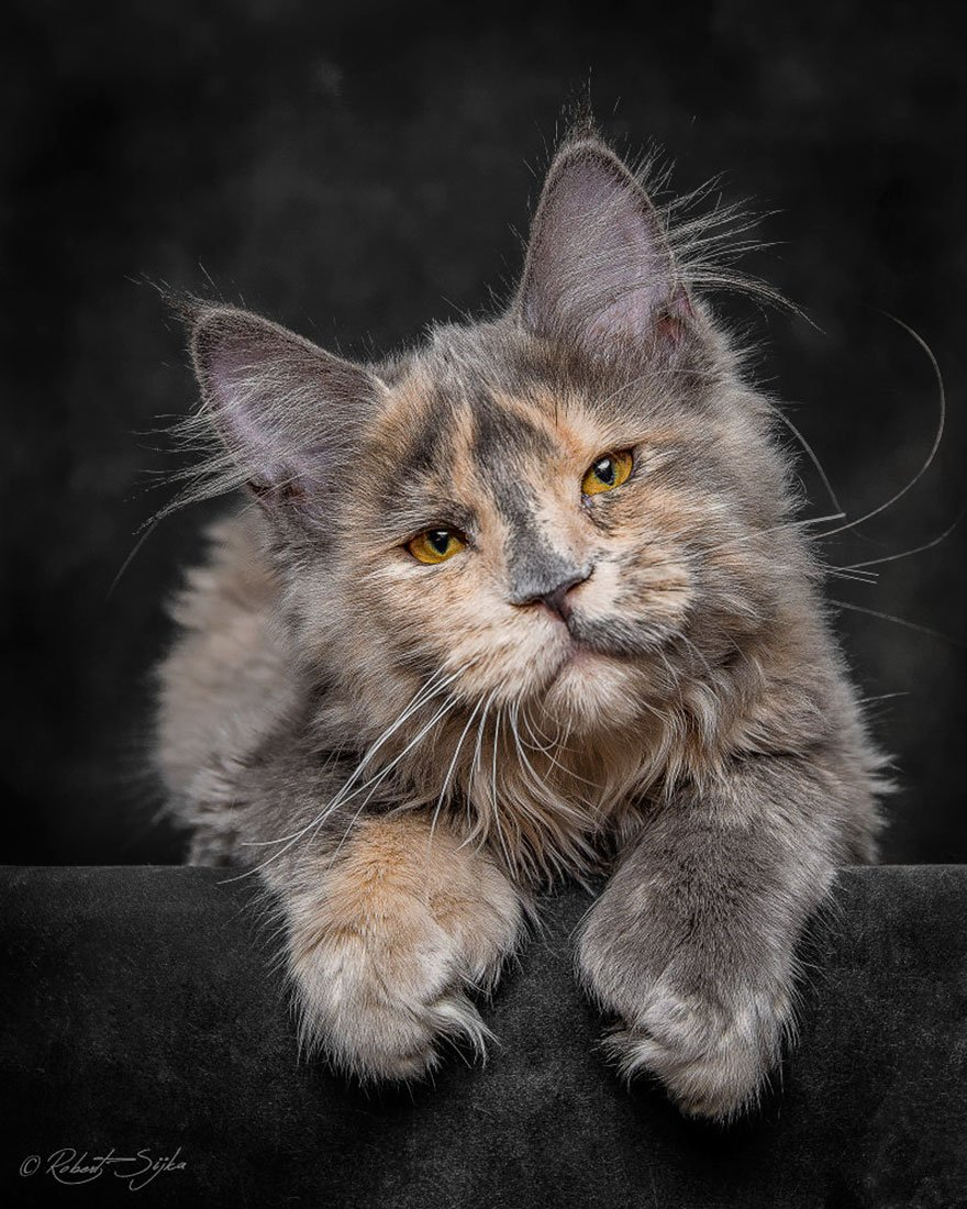 Шаблоны, картинки мейн кун кошки