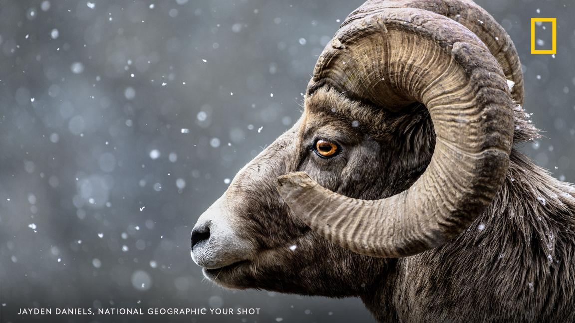 Your Shot photographer Jayden Daniels photographed this bighorn sheep during snowfall near Banff, Canada https://on.natgeo.com/2ZekR6J