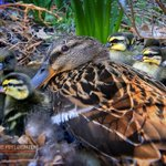Image for the Tweet beginning: Duck and her ducklings in