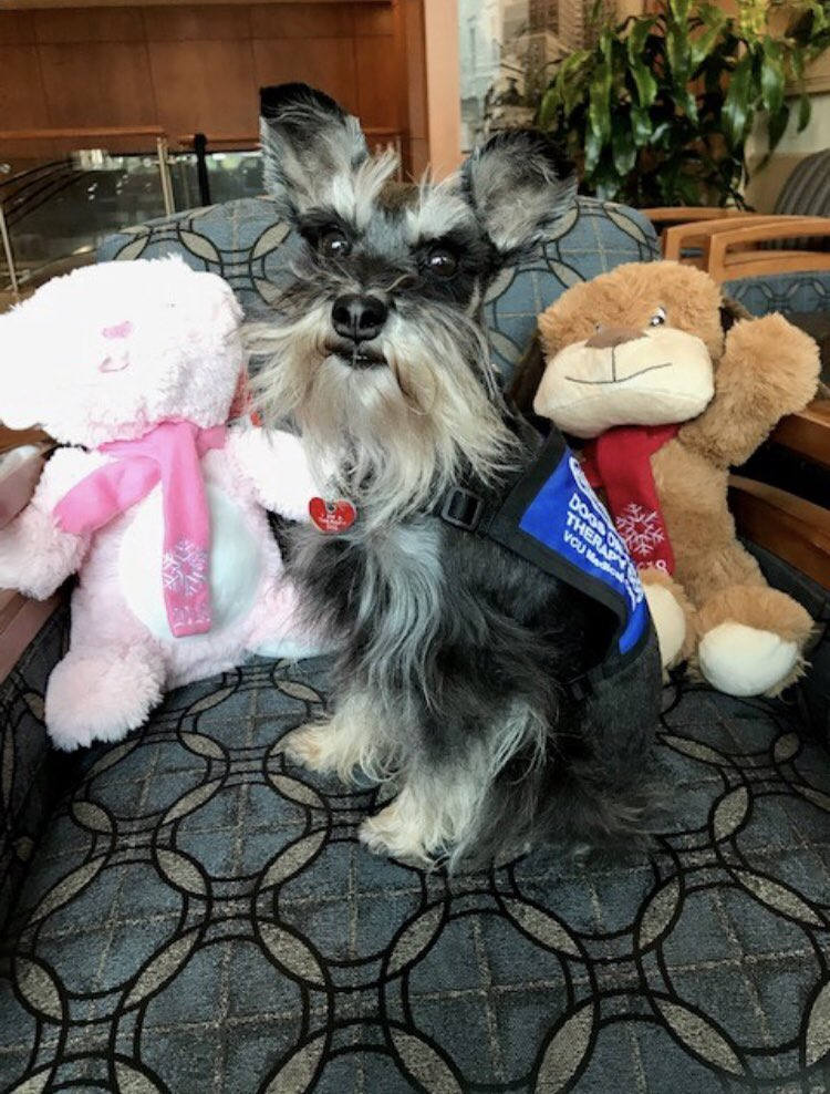 Dogs On Call therapy dog Wiley, a miniature schnauzer with a mostly black coat with a cream beard and eyebrows, sits on a chair alongside two PetSmart stuffed animals, a pink bunny and a brown dog.