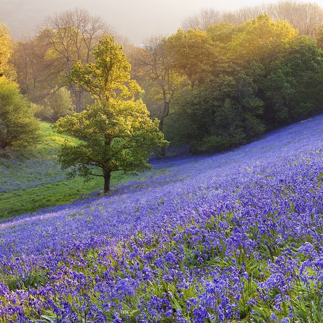 Country Life Magazine photograph 'Bluebells in Minterne Magna Dorset England . Stunning.