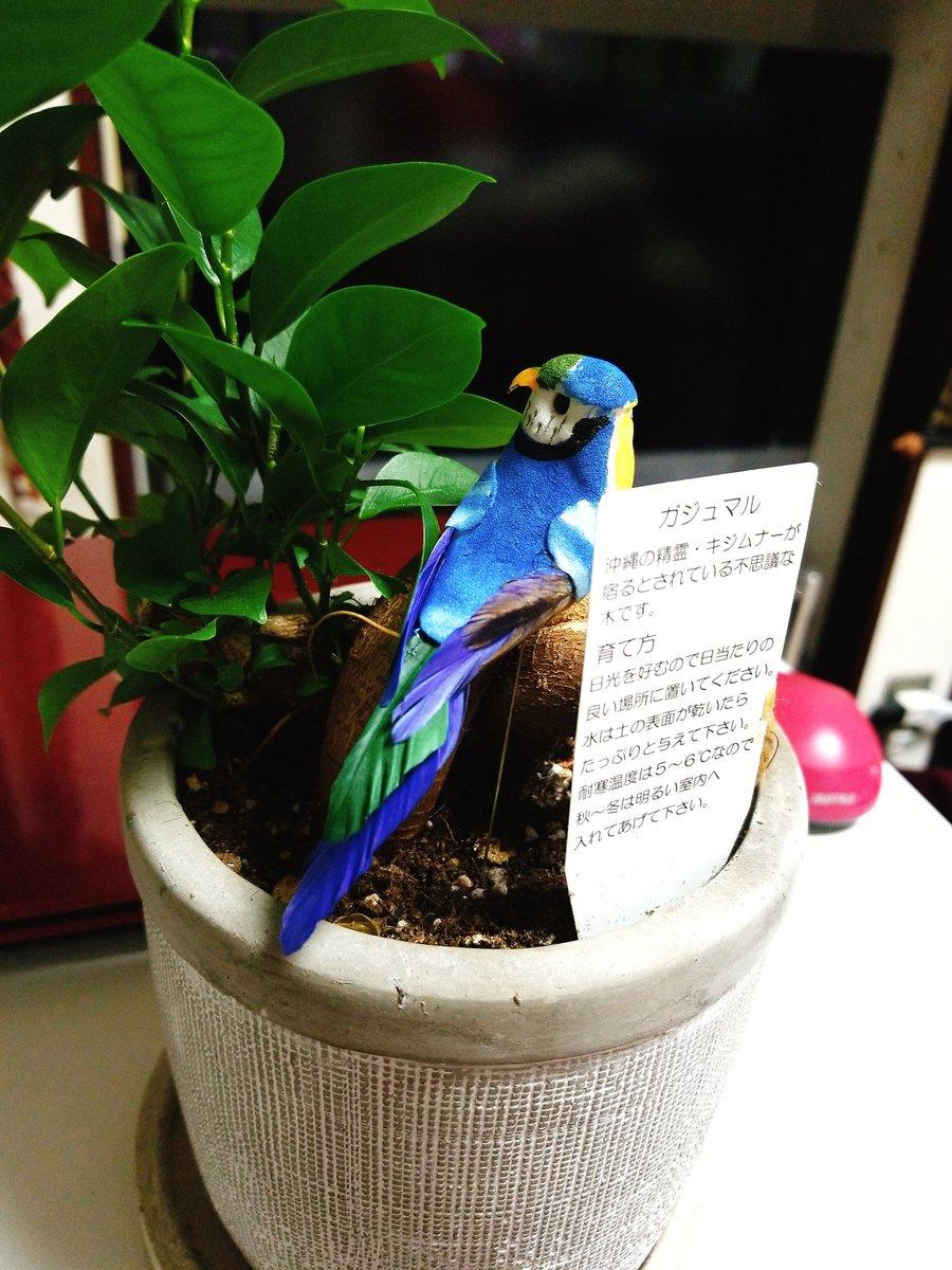 """test ツイッターメディア - わが家の""""がじゅまるさん""""にお友だちをあげました。 幸せの青い鳥  DAISOクオリティー、 恐るべし……w  #ダイソー #がじゅまる #幸せの青い鳥 https://t.co/gvvAZ1sVbm"""