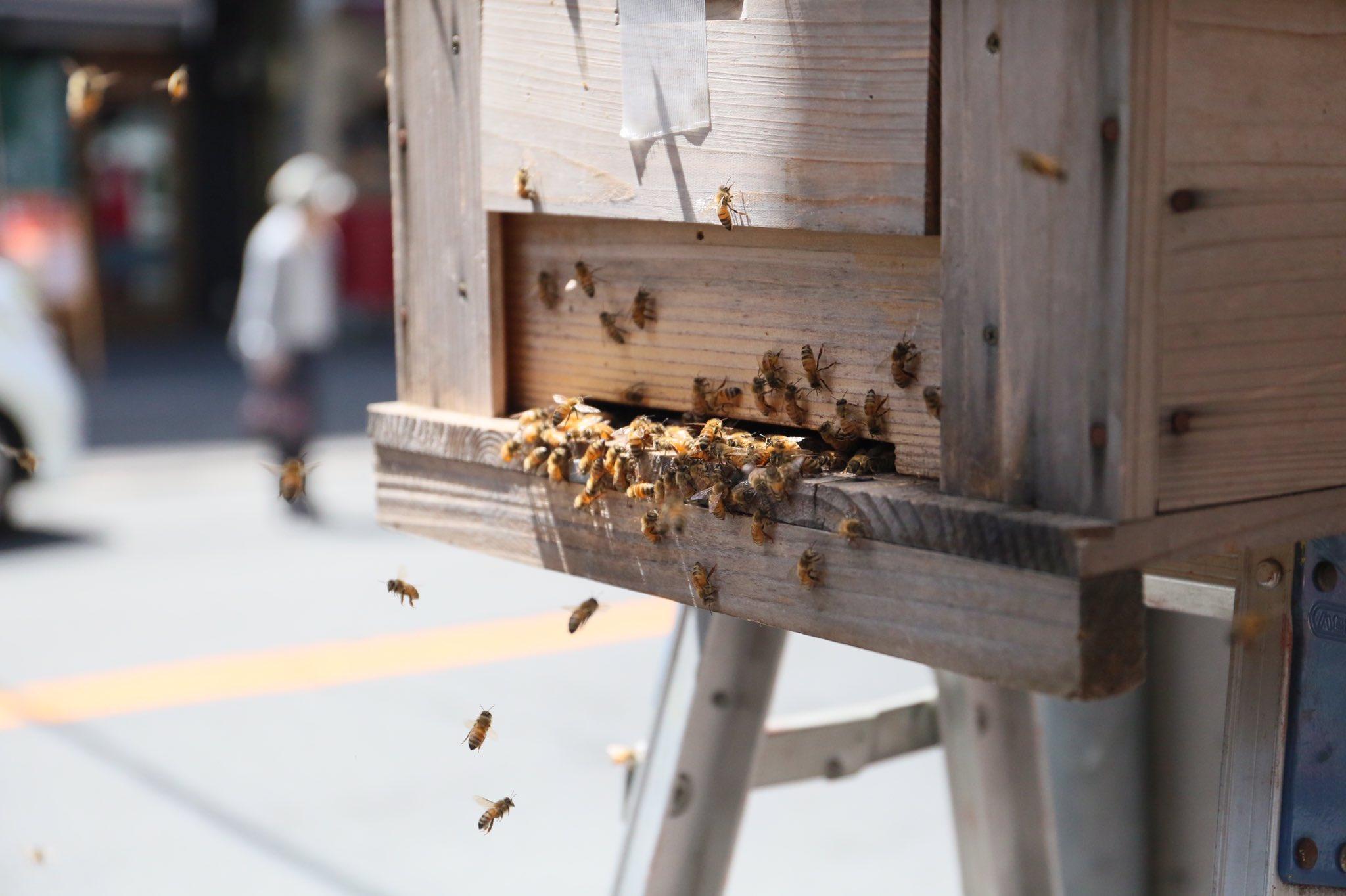 画像,この時期蜂は活発化し新しい女王蜂が産まれ古い女王蜂蜂が巣から去る「分蜂(ぶんぽう)」という現象。その為古い女王蜂が巣から去り同時に女王蜂を追いかけてミツバチ達も…